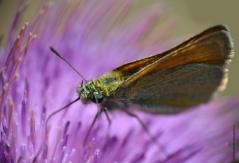 papillon1_web