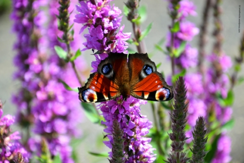 papillon2_web