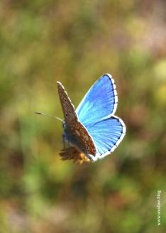 papillon_argus_bleu1_web