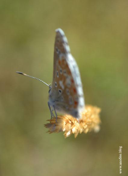 papillon_argus_bleu2_web