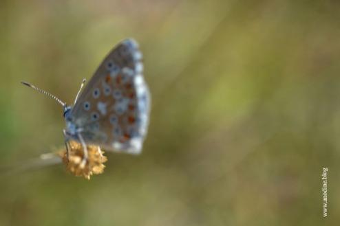 papillon_argus_bleu3_web