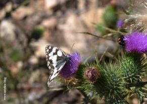 papillon_demi_deuil_web