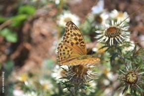 papillon_nacre1_web