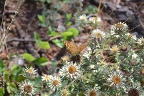 papillon_nacre2_web
