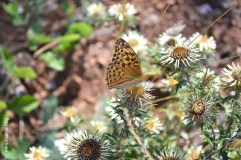 papillon_nacre3_web