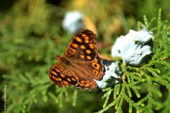 papillon_tircis1_web