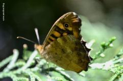 papillon_tircis2_web