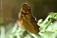 papillon_tircis3_web