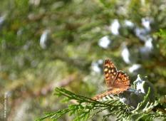 papillon_tircis4_web