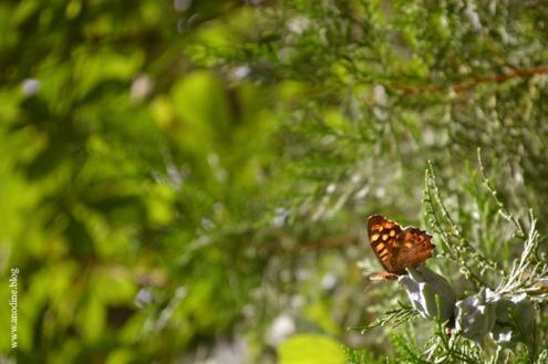 papillon_tircis5_web