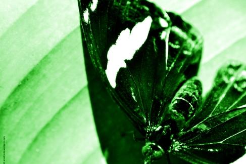 papillon_vert_web