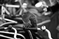 amsterdam_pigeon1_nb_web