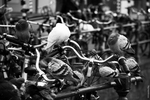 amsterdam_pigeon2_web